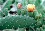 Opuntia ficus-indica (prickly pear); cladode with flower and young fruit.