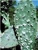 Opuntia ficus-indica (prickly pear); Dactylopius opuntiae infesting a cladode. It is a highly effective biological control agent.