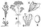 Origanum vulgare (oregano); (A) habit; (B) flowering branch; (C) bract and calyx; (D) corolla, stamens and pistil; (E) nutlet. Not necessarily to scale.