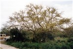 A. farnesiana tree in Texas, USA.