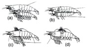 Penaeus monodon (giant tiger prawn); mating sequence: (a) Parallel swimming; (b) Male ventral side up, attached to female; (c) Male perpendicular to female; (d) Male curves around female. (with permission, from Primavera, 1979)