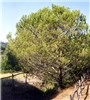 A 20-year-old stone pine, showing the rounded crown shape. Tree height 7 m. Location: Tuscany, central Italy.