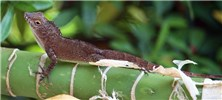 Anolis cristatellus (Puerto Rican crested anole); adult, basking. Picard, Dominica. March 2012.