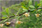 Berberis thunbergii (Japanese barberry); flowers and foliage. Mount Lebanon, nr Pittsburgh, Pennsylvania, USA.  May 2014