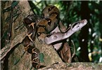 Boa imperator; adult, in habitat. Also known as the Arabesque Boa or Central American Boa. Osa Peninsula, Costa Rica.