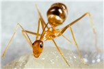 Anoplolepis gracilipes (yellow crazy ant); adult at sugar bait.