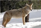 anis latrans (coyote); adult, in snow. South Rim of Grand Canyon National Park, USA. February 2008.