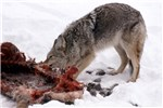 Canis latrans (coyote); adult, feeding on an Elk (Cervus canadensis) carcass. Yellowstone National Park, USA. February 1989.