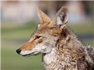 Canis latrans (coyote); close-up of adult head. Resort Corridor, Scottsdale, Arizona, USA. June 2011.