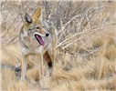 Canis latrans (coyote); adult, panting. Bosque del Apache National Wildlife Refuge, New Mexico, USA. December 2012.