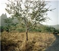 Young P. pallida as a roadside tree in Cape Verde.