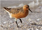 Calidris canutus (red knot); adult, in breeding plumage. Sanibel Island, Lee County, Florida, USA. May 2011.
