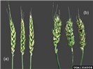 Anguina tritici (wheat seed gall nematode); wheat-heads. Healthy (a) compared with infected (b).