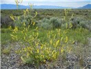 Melilotus officinalis (yellow sweet clover); flowering habit. Sweetclover in this area is essentially an inhabitant of disturbance-prone settings. Butte County, Idaho, USA. June 2010.