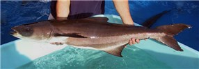 Rachycentron canadum (cobia); female, approx. 8kg in weight. Rosenstiel School of Marine and Atmospheric Science, USA.
