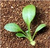 Seedling of D. teres.