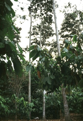 Self-pruning of naturally regenerated  trees, which are underplanted with Cacao, San Francisco, Honduras.
