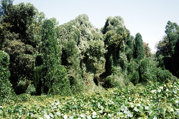 Kudzu covering trees and roadside. Near Horn Lake, Mississippi, USA.