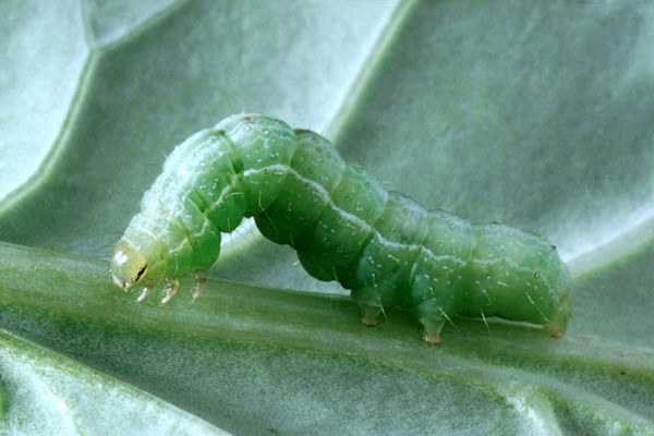 Fully-grown caterpillar of A. gamma.