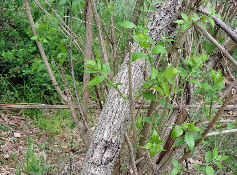 Lonicera morrowii (Morrow's honeysuckle); habit, showing established trunk with new shoots and leaves. Maryland, USA. May 2015.