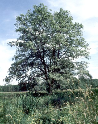A single open-grown Q. robur tree, growing in the floodplain of the River Warta near the nature reserve in Krajkowo, Rogalin, Wielkopolska Region, Poland. The tree is waterlogged every spring.