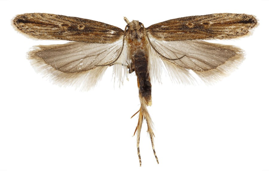 Tecia solanivora (potato tuber moth); adult male moth. Males are smaller, darker in color, and have more prominent spots in the discal cell than females.