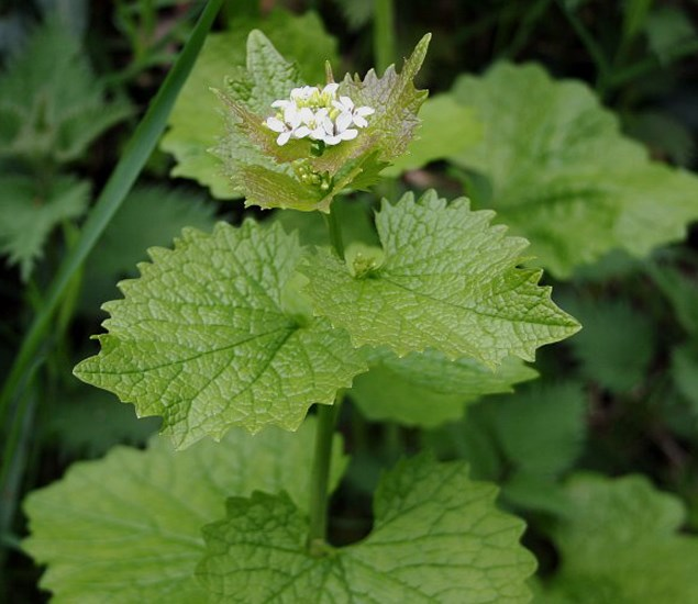 Alliaria petiolata (garlic mustard); flowering habit. nr. Perranwell, Cornwal, UK. Apil 2006.