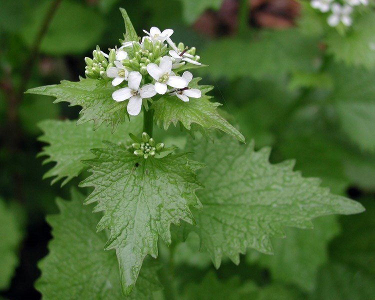 Alliaria petiolata (garlic mustard); flowering habit. USA.