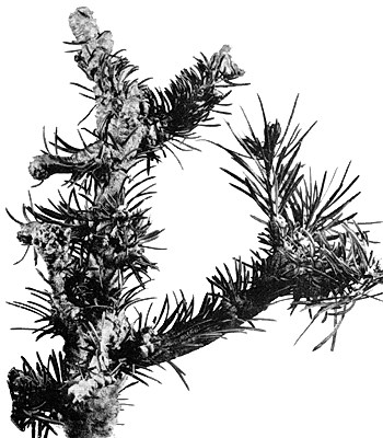 A. piceae: damage to Abies sp.