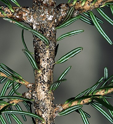 A. piceae: colonization of adult pseudohiemosistentes on Abies alba.
