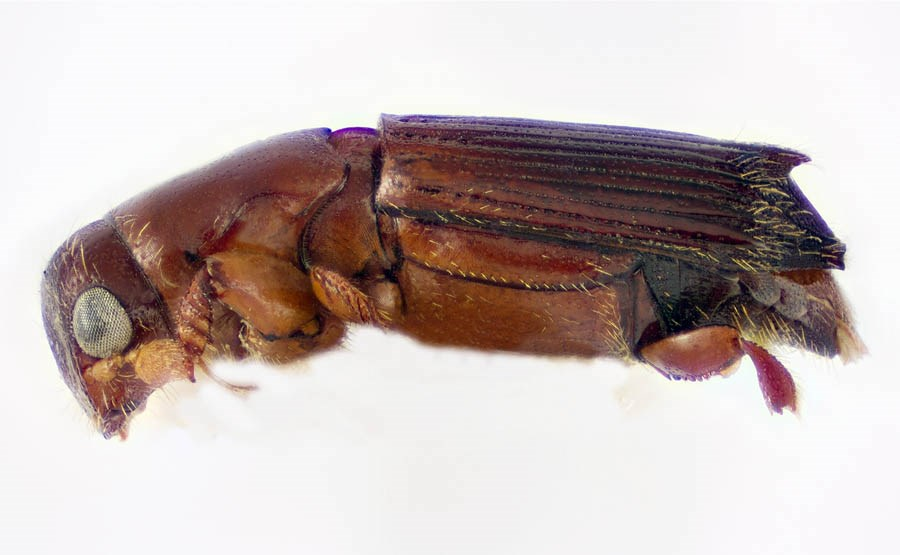 Platypus quercivorus (oak ambrosia beetle); adult lateral view. USDA PPQ in Fort Collins, Colorado, United States.