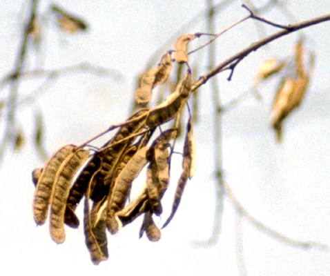 Seed pods of R. pseudoacacia.