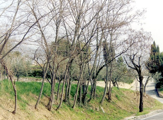 Trees issuing from coppice stumps, planted along a road embankment. Tree age approx. 10 years, height 7 m, d.b.h. 12 cm. Location: Perugia, central Italy.