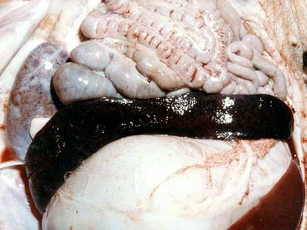 A greatly enlarged dark red to black spleen from a pig infected with a highly virulent ASFV isolate. There are petechial haemorrhages in the renal cortex.