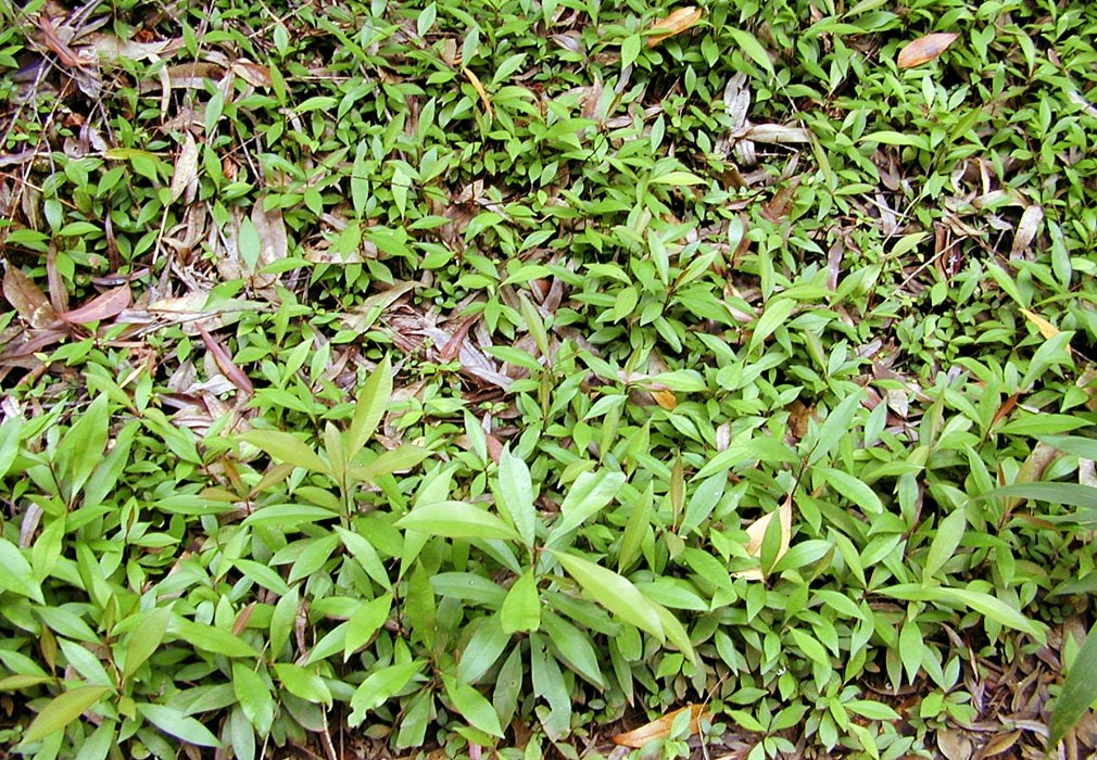 Ardisia elliptica (shoebutton ardisia); seedlings. Wahinepee, Maui, Hawaii, USA. August, 2002.