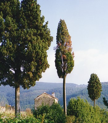Primary symptoms of S. cardinale canker disease (browning or reddening of scattered branches) shown by a group of Cupressus sempervirens trees in the hilly Tuscan countryside. Ferrano, province of Florence, Italy, 1989.