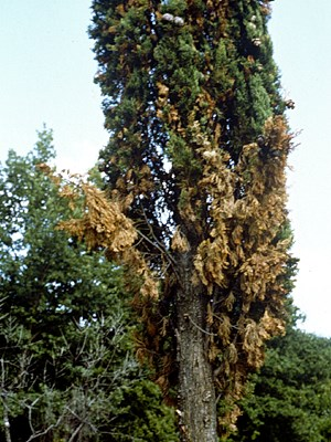 Foliage chlorosis and drying of several branches in the lower part of a cypress tree (Cupressus sempervirens) infected by S. cardinale. Near Florence, Italy, 1999.