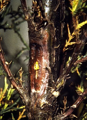 A canker developed on the stem of a C. sempervirens seedling following inoculation with S. cardinale. The pustular fruiting bodies (acervuli) of the pathogen are scattered on the bark.