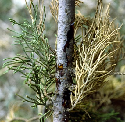 A branch of a cypress tree showing drops of resin and pustular fruiting bodies of S. cardinale scattered on the bark surface.