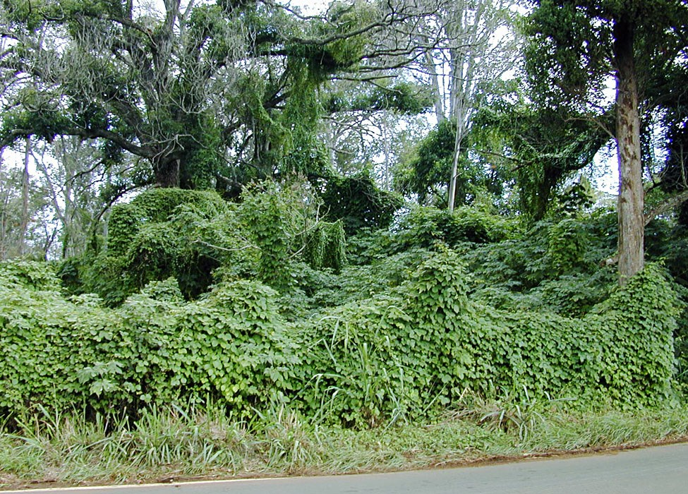 Anredera cordifolia (Madeira vine, mignonette vine, uala hupe); typical habit, climbing and smothering native vegetation. Ulupalakua, Maui, Hawaii, USA. July, 2001.