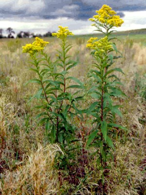 Solidago gigantea (giant goldenrod); habit, showing bright yellow inflorescences, leaves and stem.