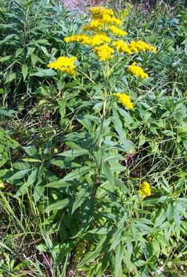 Solidago gigantea (giant goldenrod); habit showing bright yellow inflorescences, leaves and stem.
