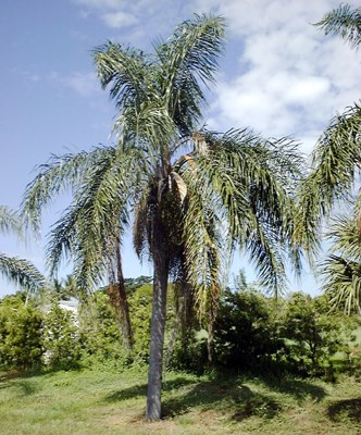 Twelve-year-old Syagrus romanzoffiana at 7.6 m in height.  South Florida, USA.