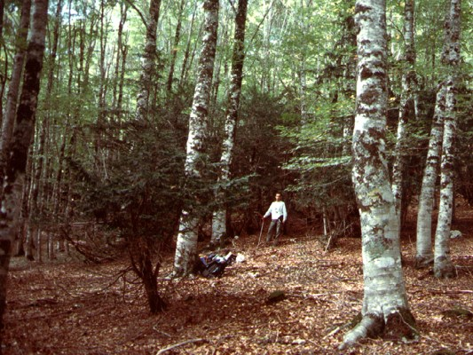 Tree habit of Taxus baccata in stand, height 7 m. Abruzzo National Park, Italy.