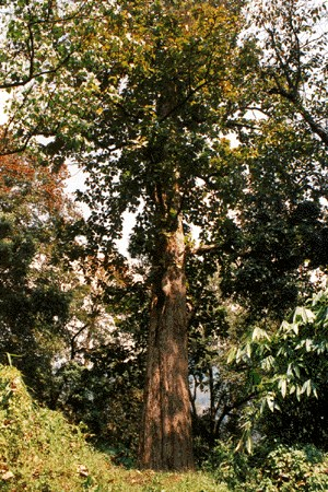 The largest teak in India with a height of 49 m and a dbh of 224 cm. Located at Idamalayar in Malayattur Forest Division, Kerala State, India.