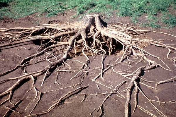 Root system of a 55-year-old tree.