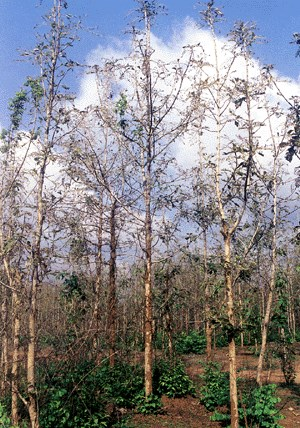 A six-year-old teak plantation of Kerala Forest Department at Nilambur being defoliated by Hyblaea puera larvae.