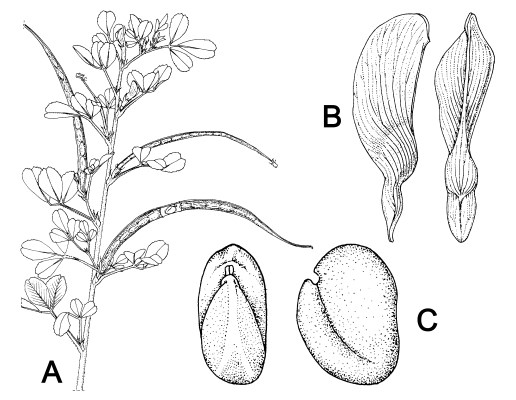 Plant parts of fenugreek (T. foenum-graecum). Line drawing, not necessarily to scale. (A) flowering and fruiting shoot; (B) standard (abaxial and side view); (C) seed (hilum view and lateral view).