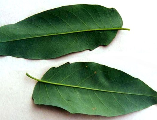Ailanthus altissima: leaves and leaf glands