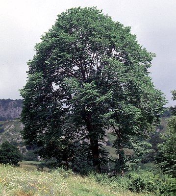 A typical open-grown wych elm. This specimen is 100 years old, growing at 'La Falera' (Lat. 43° 47'; Long. 12° 05'), cental Italy, altitude 1000m. It is 20 m tall, with a diameter of 73 cm.